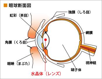 眼球断面図